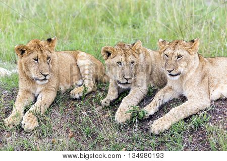 Three lovely young lion cub resting on the grass in the savannah  in a park Tarangire, Tanzania