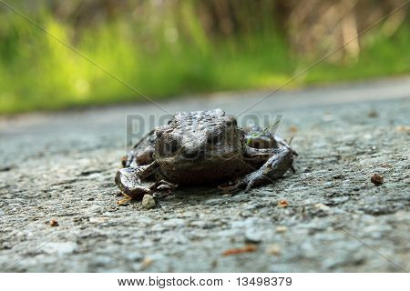 frog on a road