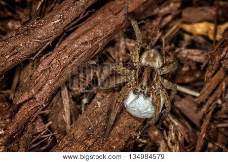 A Female wolf spider with egg sac