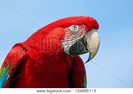Closeup portrait of the Green-winged macaw ( Ara chloropterus)  with blue skies in the background