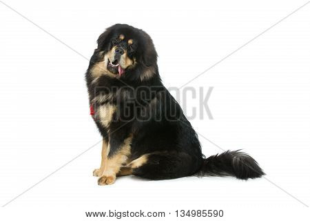 Portrait of big beautiful Tibetan mastiff dog sitting over white background. Isolated. Copy space.