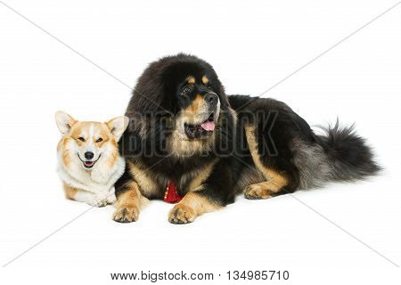 Beautiful adult welsh pembroke corgi and Tibetan mastiff dogs lying. Isolated over white background. Copy space.