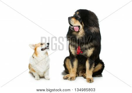 Beautiful adult welsh pembroke corgi and Tibetan mastiff dogs sitting. Isolated over white background. Copy space.