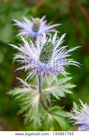 Eryngium alpinum 'Blue Star' also known as Blue Sea Holly