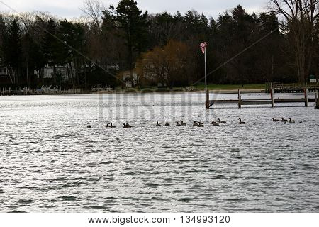 Canada geese (Branta canadensis) and mallard ducks (Anas platyrhynchos) swim together at the Zorn Park Beach in Harbor Springs, Michigan on Christmas Eve.