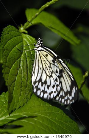 a butterfly busy resting on a green leaf poster