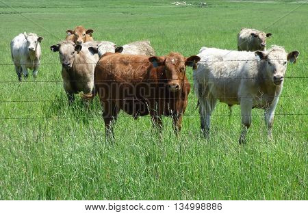 Curious cattle in the pasture along the fence line.