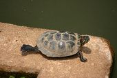 a turtle stretching one back leg in the midday sun next to a pond. poster