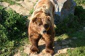 huge and masive kodiak bear observing his territory poster