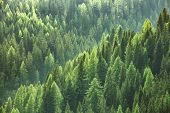 Healthy green trees in a forest of old spruce fir and pine trees in wilderness of a national park. Sustainable industry ecosystem and healthy environment concepts and background. poster