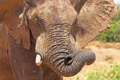 african elephant playing with its flexible trunk poster