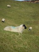 sheep sat down in the sun relaxing poster