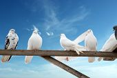 home-grown doves - white and brown - on the sky background with copy space poster
