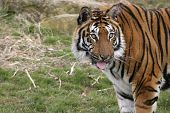 this superb bengal tiger was photographed at the wildlife heritage foundation in the uk. the whf is a conservation breeding programme for big cats. poster