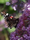 butterfly feeding on a buddleja flower plant poster