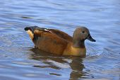 this colourful indian whistling duck was photographed at slimbridge wwt in the uk. poster