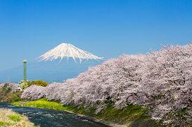 Sakura blossoms and Mountain Fuji at the river in Japan spring season