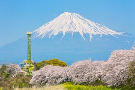 Sakura blossoms and Mountain Fuji in Japan spring season
