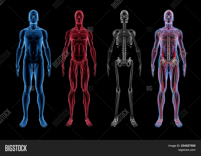 Male Anatomy (3D Body Image & Photo (Free Trial) | Bigstock