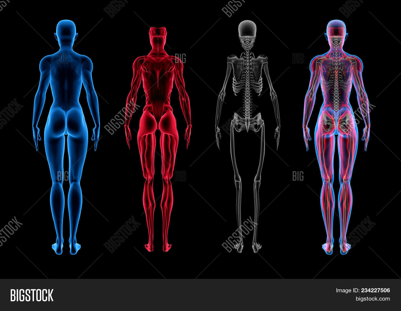 Female Anatomy (3D Image & Photo (Free Trial) | Bigstock