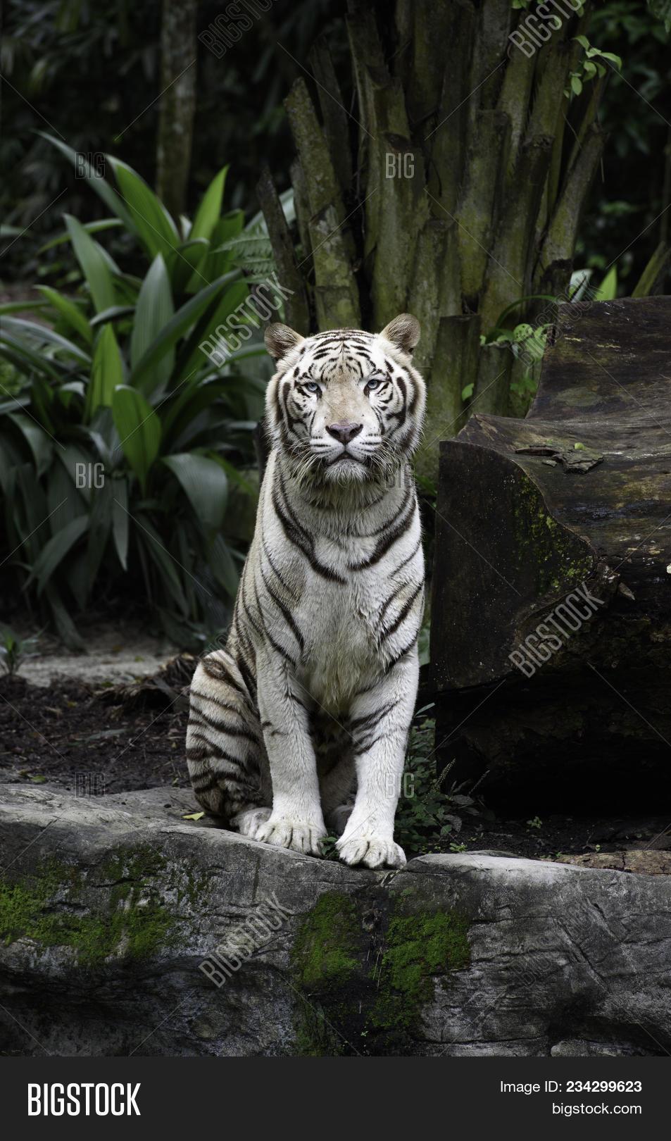 tiger jungle. white image & photo (free trial)   bigstock