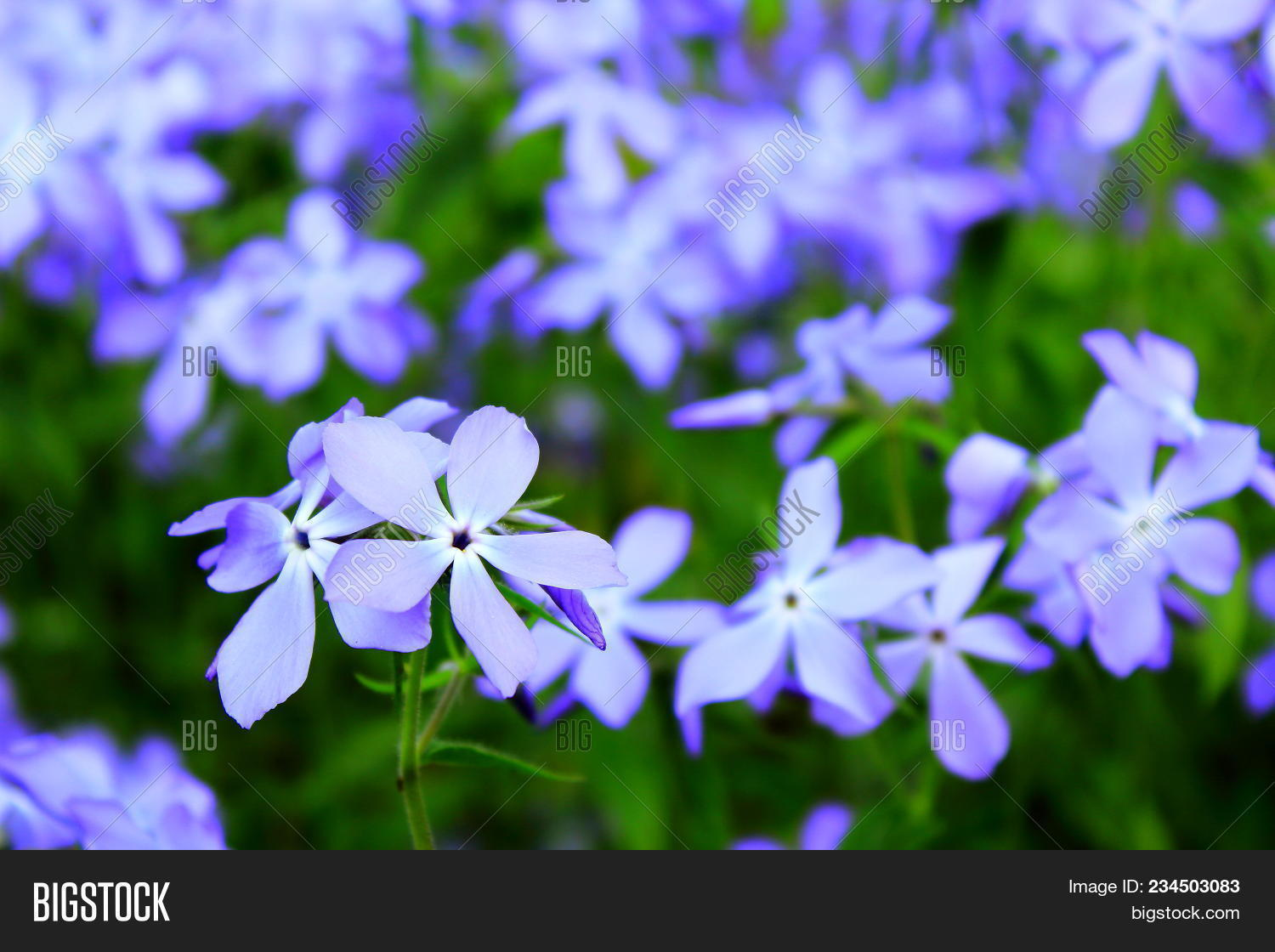 Spring Violet Lowers Image Photo Free Trial Bigstock