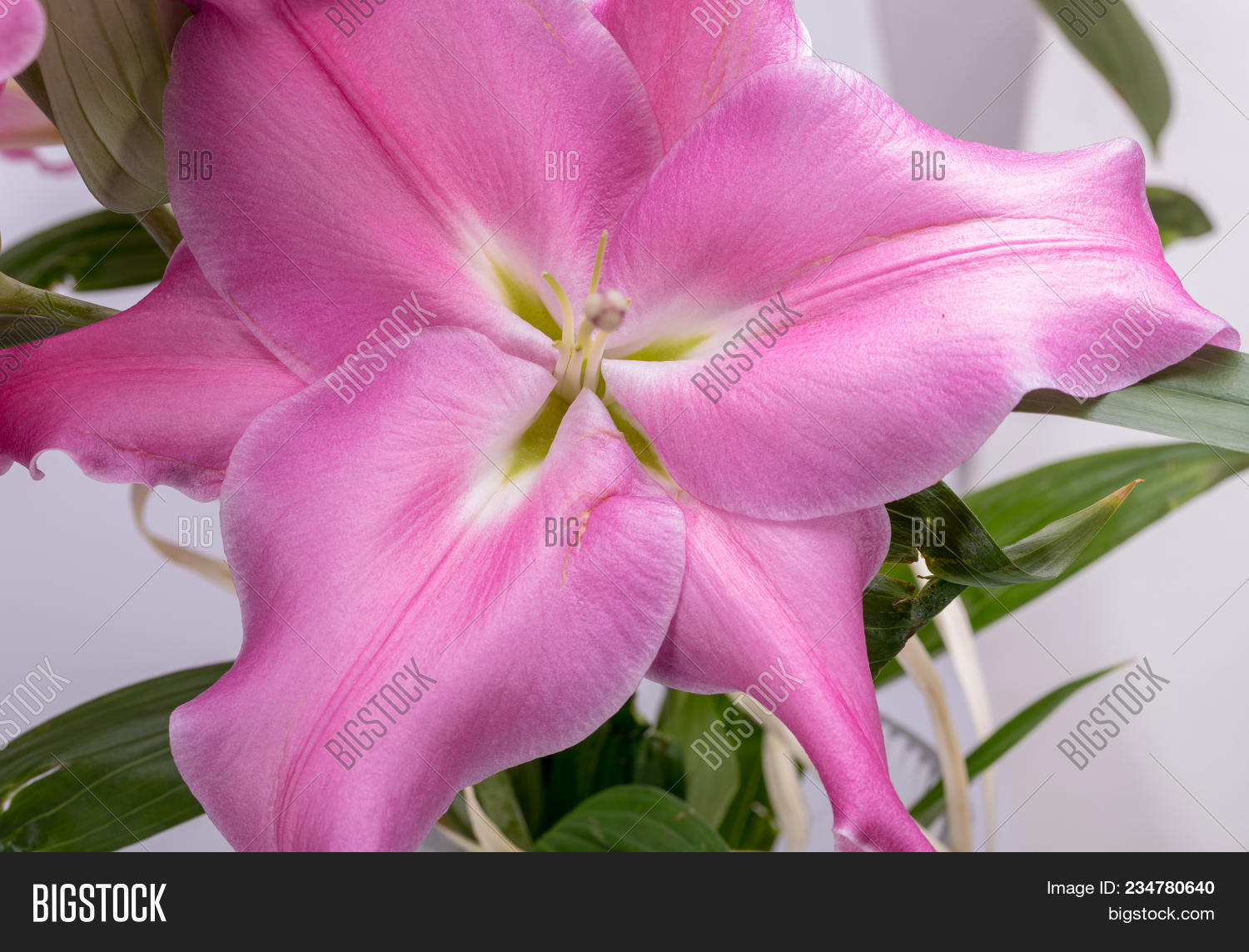 Close Pink Liles Image Photo Free Trial Bigstock