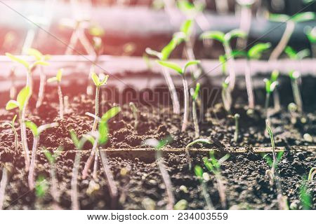 Sprouted Sprouts From The Soil In Sunlight. Selective Focus