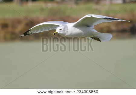 Close Up Image Of A Seagull In Flight.