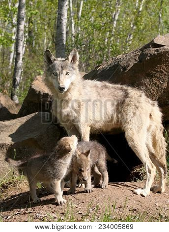 Close Up Image Of A Gray Wolf, With Pups, Alert And Focused.