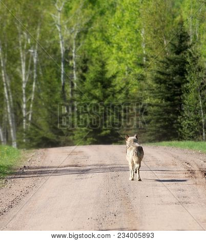 Close Up Image Of A Lone Gray Wolf, Walking Down A Country, Gravel Road In Summertime.  Image Shot F