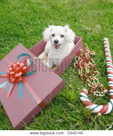 White french poodle in a gift box with christmas decoration poster