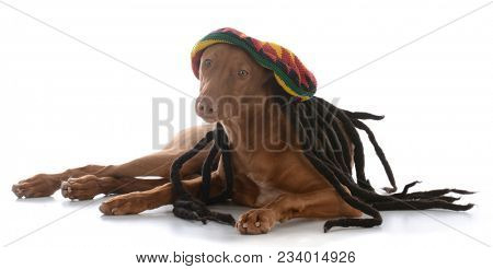 male pharoah hound wearing rastafarian wig on white background