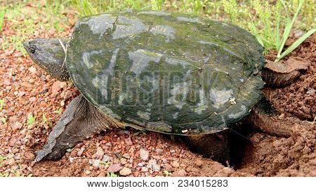 Snapping Turtle Making A Nest In Gravel To Lay Her Eggs
