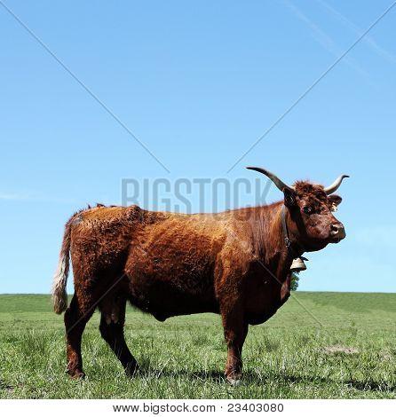 Mahogany Red Salers Cow Portrait