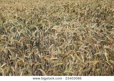 Nature's Colours Ripening Wheat