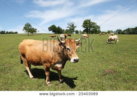 The reddish buckskin Parthenaise/Parthenais cattle breed which originated in Central France was bred for its milk yield to produce butter, as a draught animal and, today, for beef. poster