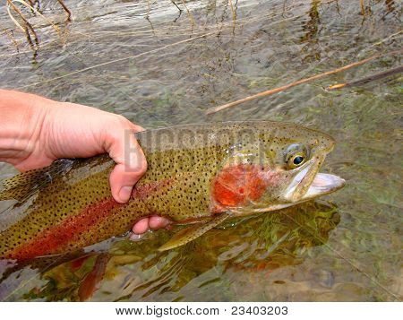 Releasing a Rainbow Trout, fly fishing (flyfishing) on the crystal clear waters of the Green River poster