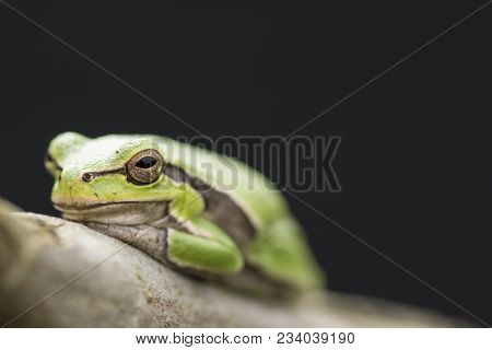 Tropical Green Tree Frog On A Branch In Front Of Dark Background.