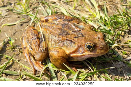 Common Frog In The Wild In The Green Grass . The Common Frog - Rana Temporaria Is A Semi-aquatic Amp