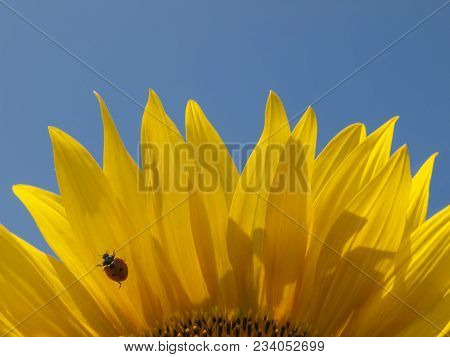 Sunflowers Background For Designers, Sunflower With Pollen And Bright Yellow Leaves Macro View Of Su