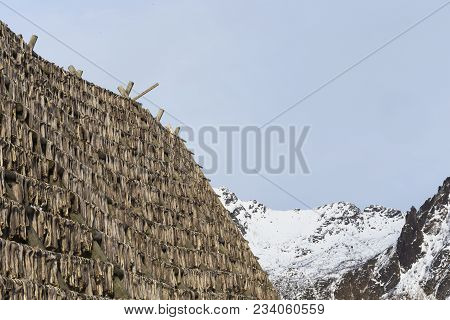 Traditional Stockfish Hanging On Drying Rack In Cold Snowy Mountain Region Of Lofoten, Norway. Cod I