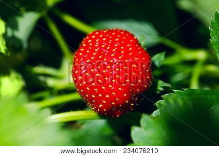 Organic Ripe Strawberry. Strawberry On Green Background. Best Red Strawberry Background. Fresh Straw