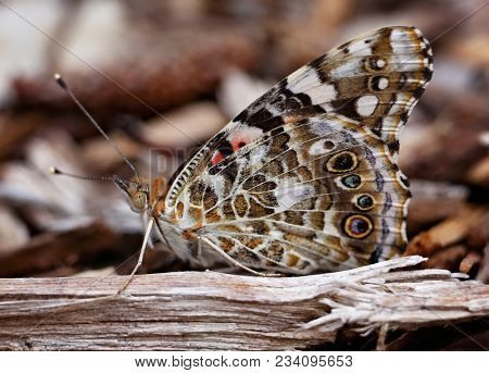 beautiful painted lady butterfly on wood bark