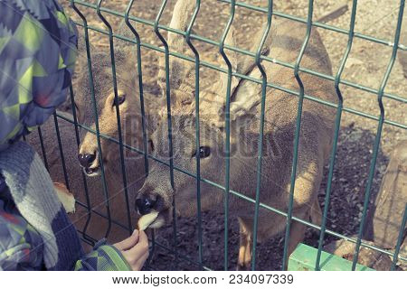 The Young Deer Lives In A Cage In The Zoo. Deer Family In A Cage. A Boy Feeds Two Deer With Hands.