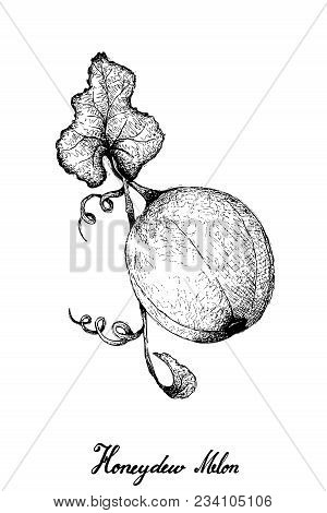 Exotic Fruit, Illustration Hand Drawn Sketch Of Honeydew Melon Or Cucumis Melo Isolated On White Bac