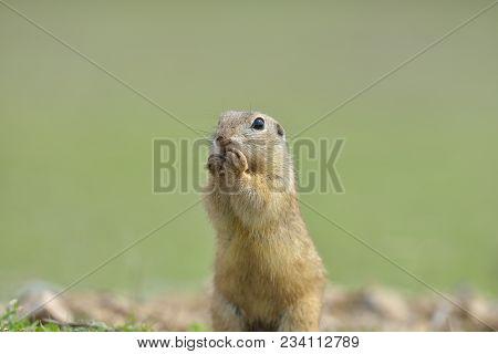 European Ground Squirrel Standing In The Grass. (spermophilus Citellus) Wildlife Scene From Nature.