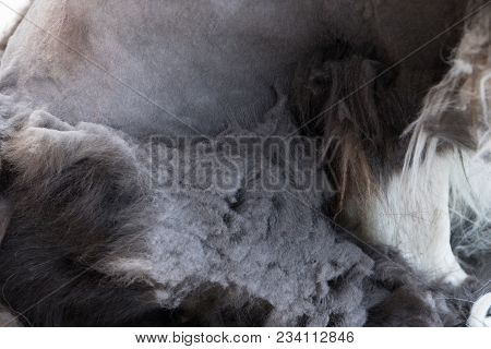 Closeup View Of The Felted Hair Of The Border Collie Dog. Severe Matting And Unhealthy Neglected Coa
