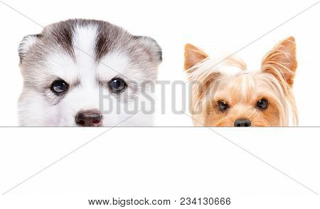 Husky Puppy And Yorkshire Terrier Peeking From Behind A Banner, Isolated On White Background