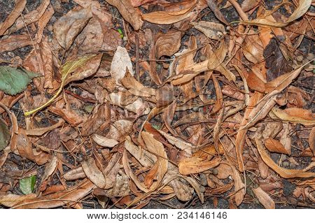 Dry Fallen Leaves And Inflorescences Of Linden Lie On The Ground
